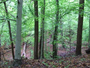 In the woods: tall trees, ground covered with leaves